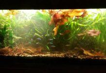 Java Fern Care, Reproduction and Fact sheet | The Aquarium Club