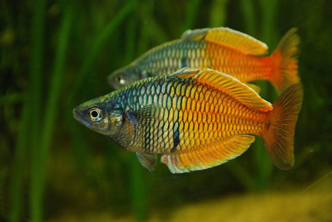 Rainbowfish Of Australia And New Guinea The Aquarium Club