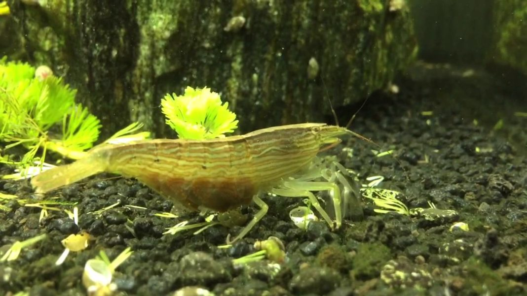 Bamboo Shrimp