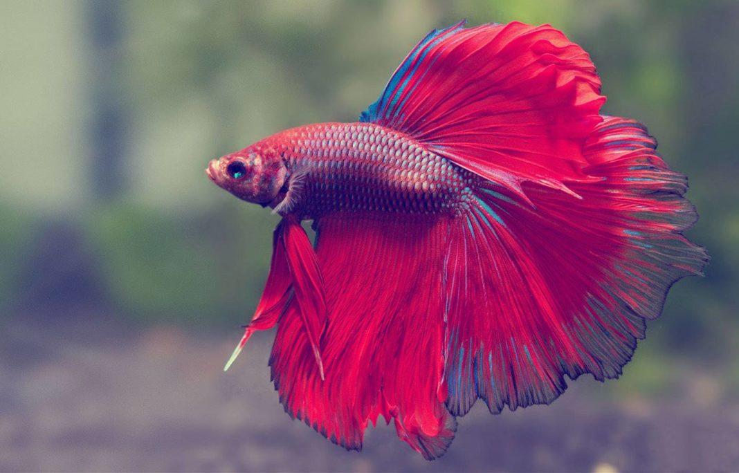 Ideal Water Temperature for Betta Fish | The Aquarium Club