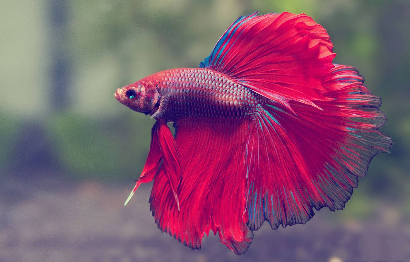 ideal water temperature for betta fish