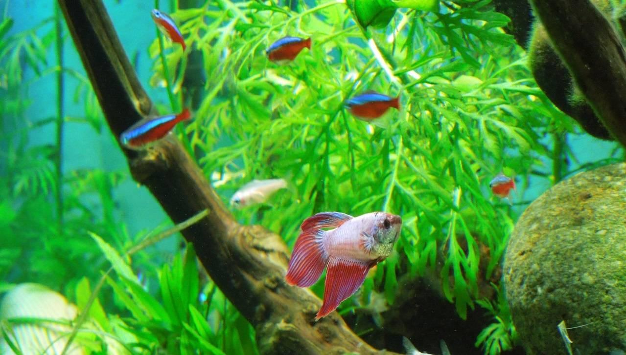 Best Betta Tank Mates Companion Animals For Betta Fish