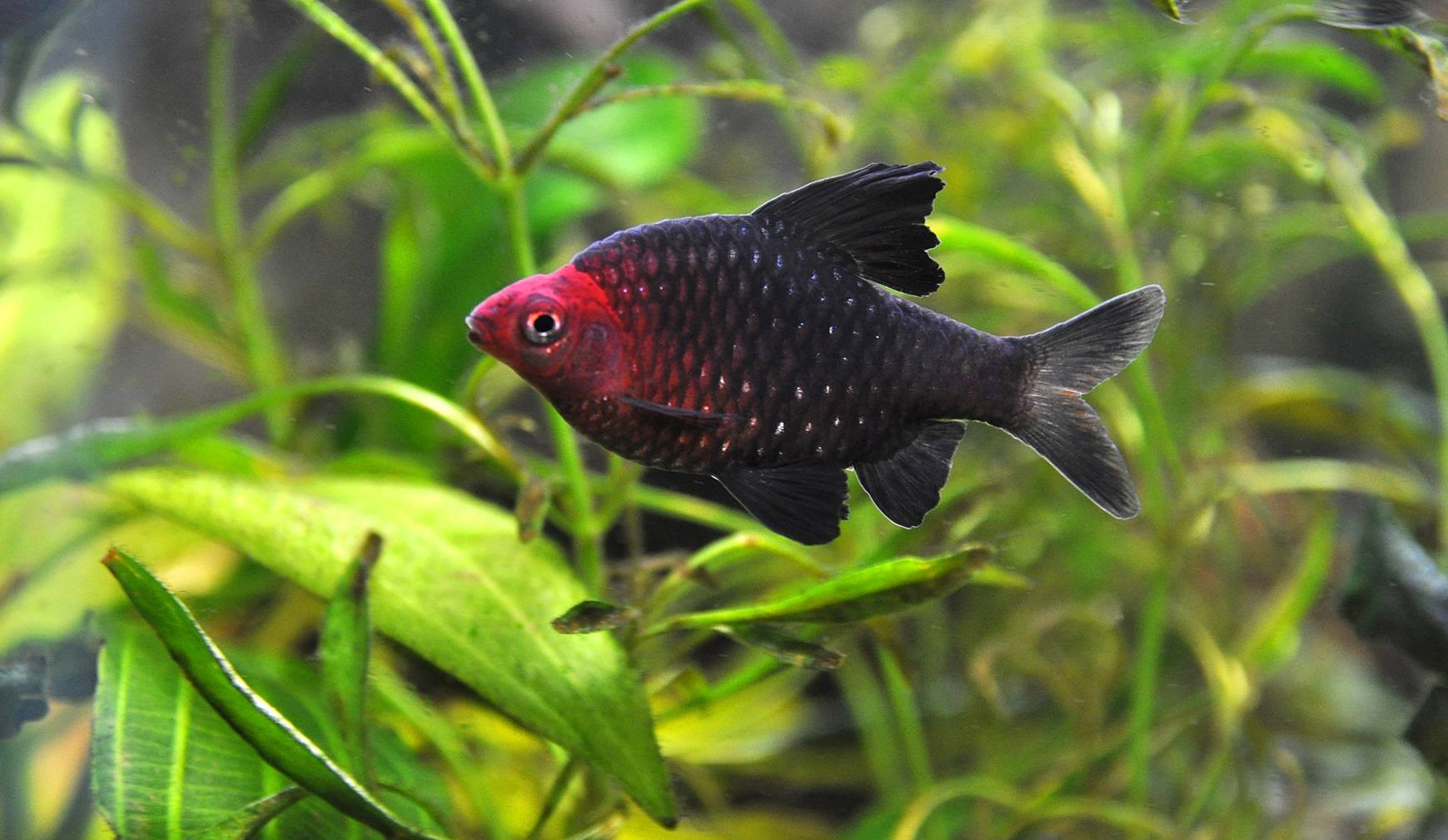 Barb Fish The Different Types Of Freshwater Barbs