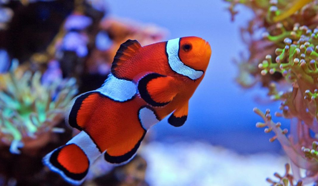 Misbar clownfish for the tropical saltwater tank the for Clown fish for sale