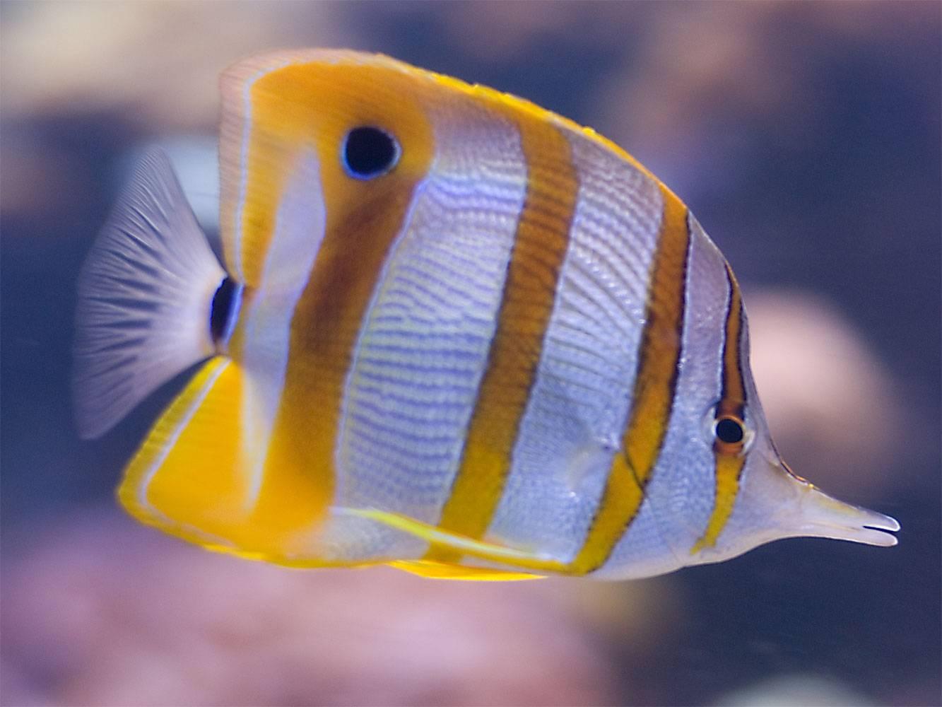 Top Ten Marine Aquarium Fish The Aquarium Club