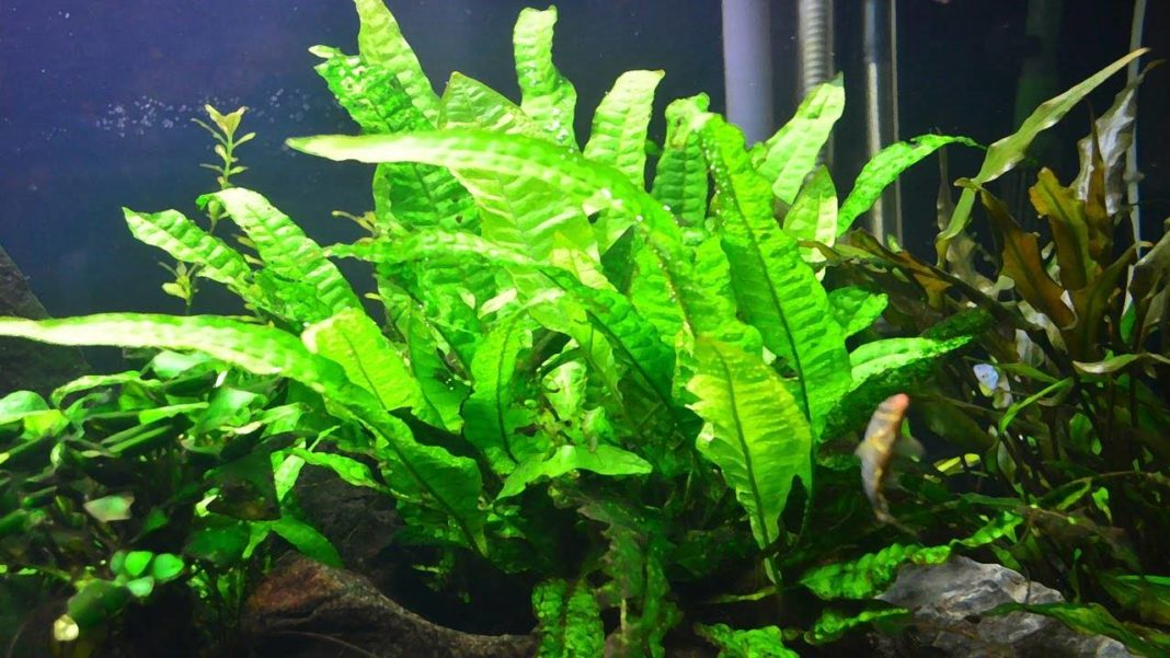 Easy care plants for the freshwater aquarium the for Easy maintenance plants