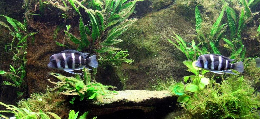 Java Fern Care Reproduction And Fact Sheet