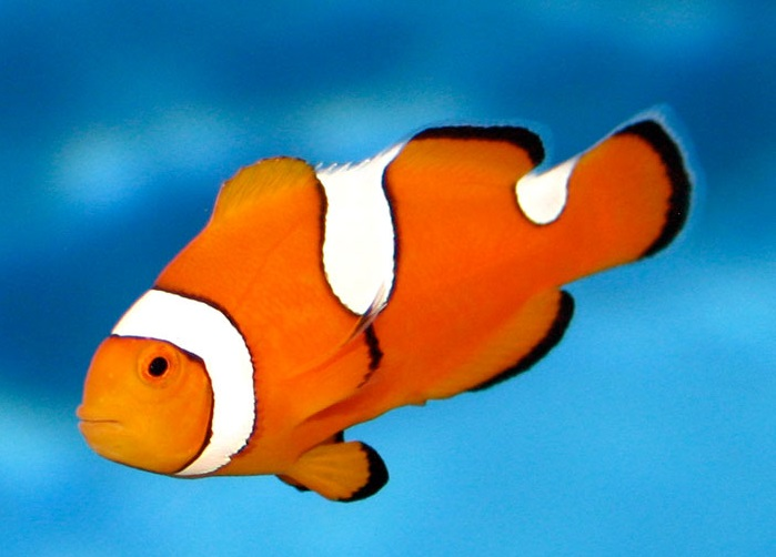Misbar Clownfish for the Tropical Saltwater Tank | The ...
