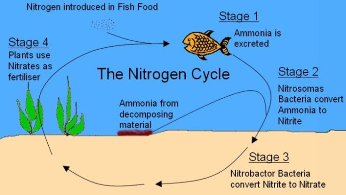 Understanding the aquarium nitrogen cycle the aquarium club for Nitrite in fish tank