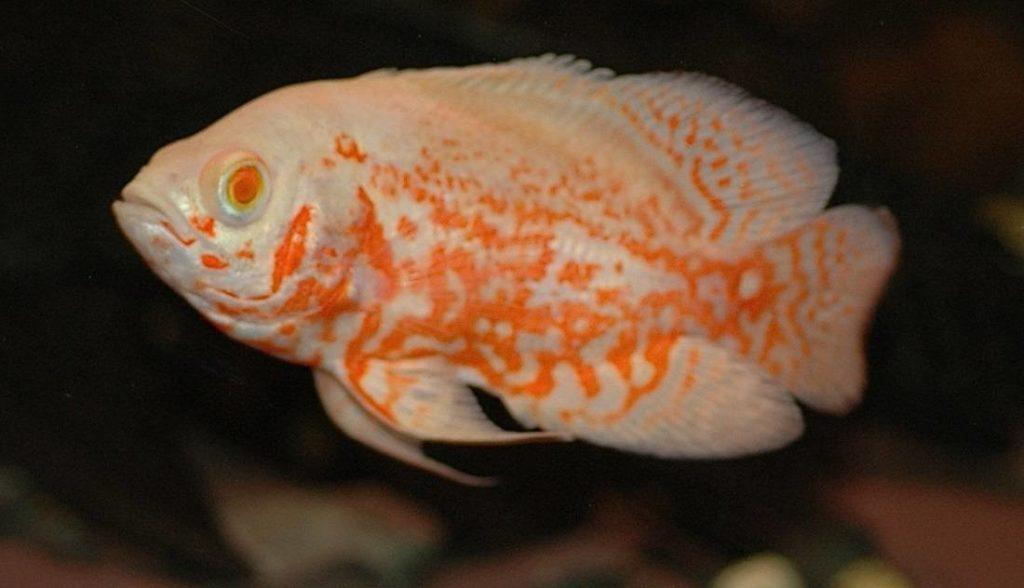 Oscar Fish Astronotus Ocellatus Care Feeding And Tank