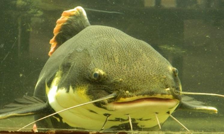 redtail catfish of south america the aquarium club